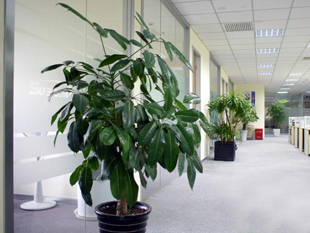 办公室花卉摆放方案 1. 办公室作为不宜冲着大门,因为正对大门会被入门的气场冲到,容易影响到一个人的潜意识、神经系统,造成脾气火爆或无端生病的情况。在这种情况可在门口立一座屏风或植物,作为化解之道。 2. 可以再办公室的走道上排放整列盆栽,植物可以选择高约50CM,叶子与屏风色彩对比强的观叶植物,绿色具有缓解压力和减轻视觉疲劳的功效;根据个人喜好,亦可选择鲜艳的切花来振奋精神。 3.