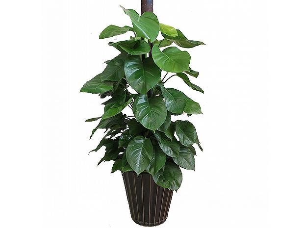 柱状绿萝盆栽_成都植物租赁,植物租摆,绿植出租,租花