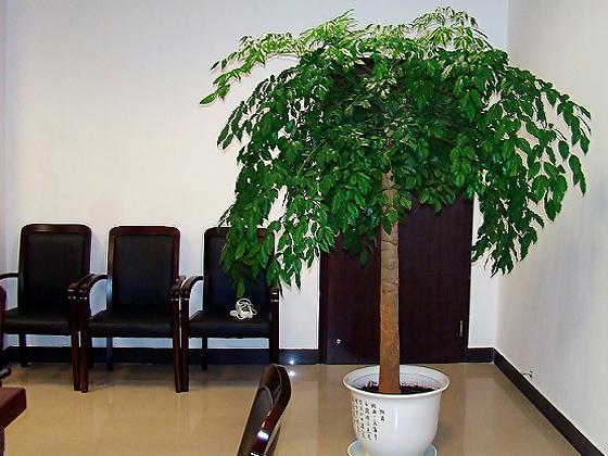 菜豆树是中小型盆栽,可摆放在阳台,卧室,门厅等处.