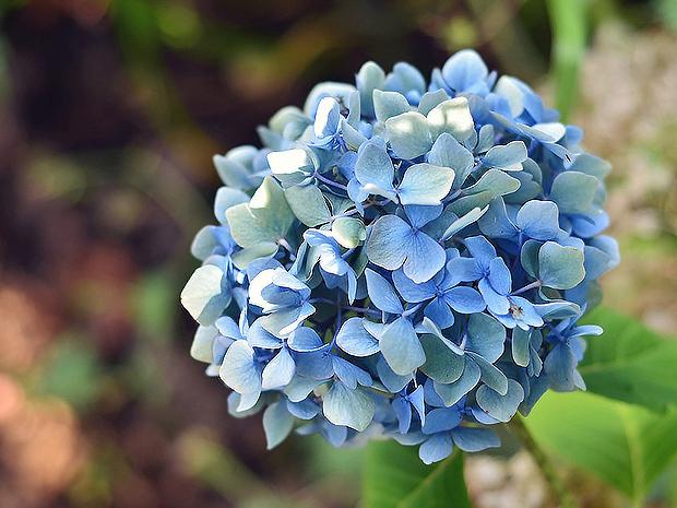 绣球花花型丰满,大而美丽,其花色能红能蓝,令人悦目怡神,是常见的盆栽观赏花木。中国栽培绣球的时间较早,在明、清时代建造的江南园林中都栽有绣球。20世纪初建设的公园也离不开绣球的配植。现代公园和风景区都以成片栽植,形成景观。 绣球花主要品种: 阿尔彭格卢欣,有花深红或玫瑰红色。红帽,有深绿色,花淡玫瑰红至洋红色。恩齐安多姆,有鲜红色和深蓝色。弗兰博安特,洋红色。雪球,正常花玫瑰红色,可变成蓝色。法国绣球,花洋红或玫瑰红色,可转变为蓝色或淡紫色。奥塔克萨,花粉红或蓝色。雷古拉,花淡绿白色。粉色佳人,有洋红或玫