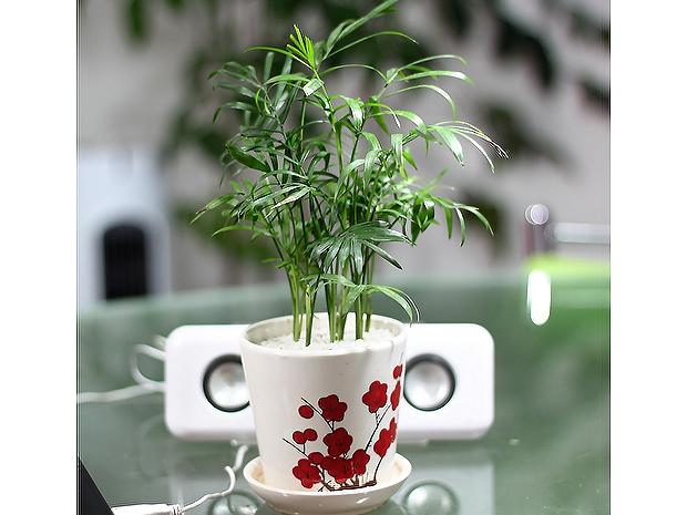 植物租摆-袖珍椰子盆栽