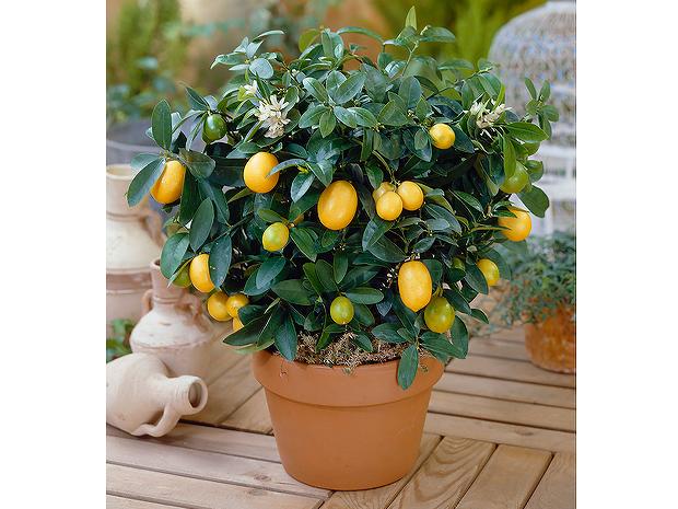 金桔盆栽 金桔盆栽喜阳光和温暖、湿润的环境,不耐寒,稍耐阴,耐旱,要 求排水良好的肥沃、疏松的微酸性砂质壤土。 金桔果实金黄、具清香,挂果时间较长,是极好的观果花卉。它既宜作盆栽观赏及盆景,同时其味道酸甜可口,有多方营养价值。在南方暖地,亦将其果树经营栽植。盆栽金桔四季长青,枝叶繁茂,树形优美。夏季开花,花色玉白,香气远溢。秋冬季果熟或黄或红,点缀于绿叶之中,可谓碧叶金丸,扶疏长荣,观赏价值极高。 金桔不仅美观,而且果实含有丰富的维生素C、金桔甙等成分,对维护心血管功能,防止血管硬化、高血压等疾病有一定的