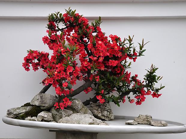 盆栽植物-海棠花