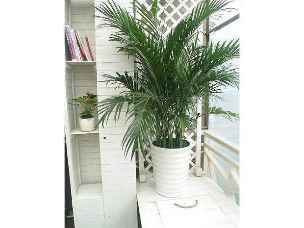 盆栽植物-富贵椰子