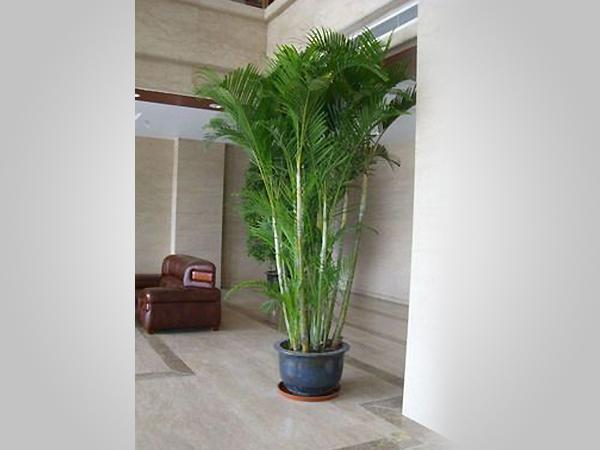 盆栽植物租赁_成都植物租赁公司,办公室,茶楼,酒店找