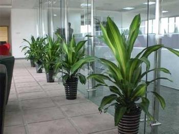 办公室植物盆栽出租出售