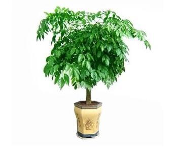 酒店大厅适合租赁哪种植物