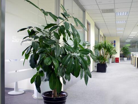 成都办公室大盆植物租赁